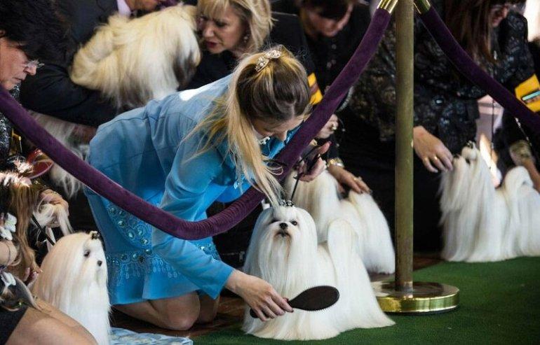 Фото. Выставка собак Westminster Kennel Club— потрясающе красивое мероприятие!