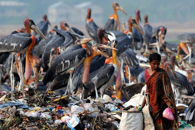 Индийские марабу на свалке