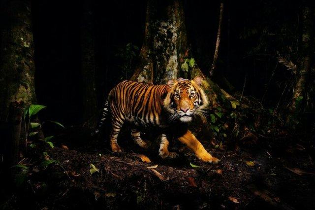 Голос тигра