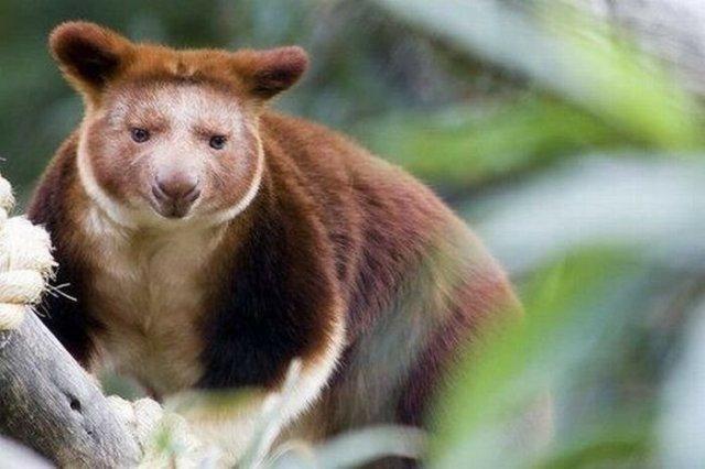 Классные животные! Фотографии необычных древесных кенгуру