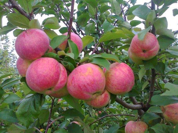 Яблоня Приземленная Фото