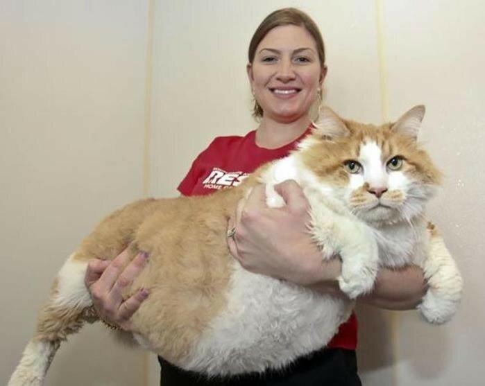 Фотографии огромных котов, которые думают, что они котята