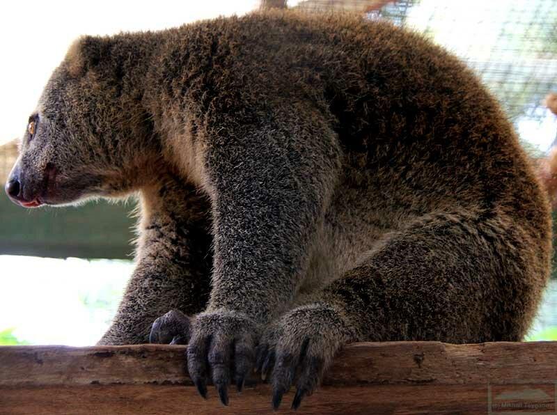 Медвежий кускус