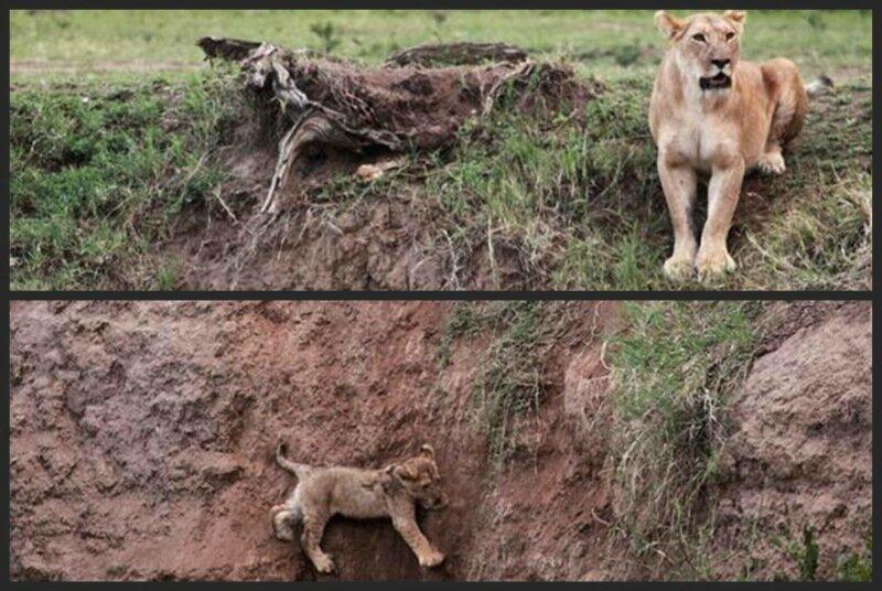 Уникальная съемка, как львица спасала львенка из ямы