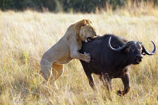 Привет, обед! Фотографии животных перед кровавой трапезой
