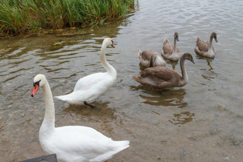 Семейство лебедей, Городищенское озеро
