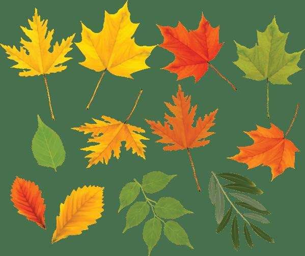 Листья Клёна. Фото