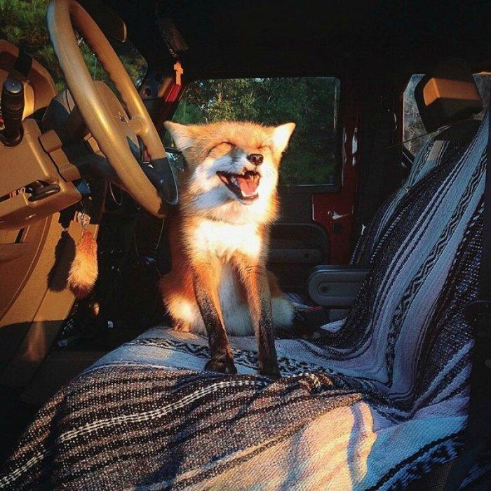 Джунипер, самая счастливая домашняя лиса в мире и в Инстаграм