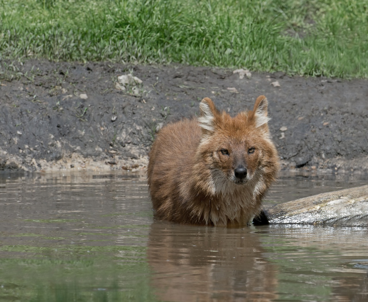 DHOLE OR INDIAN WILD DOG, Cuon alpinus, STANDS IN  A POOL OF WATER.