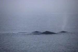 Подальше три кита-горбача
