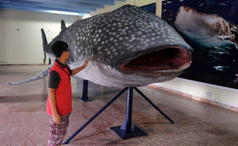 Гигантская китовая акула в музее Пакистана