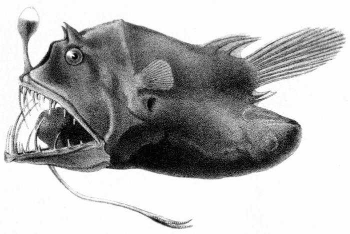 Экстремалы подводного мира - Глубоководные удильщики. История невероятной адаптации