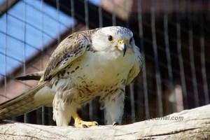 """Хищные птицы в парке птиц """"Воробьи"""" - Не знающий своего ..."""