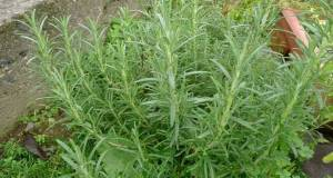 How To Store Rosemary