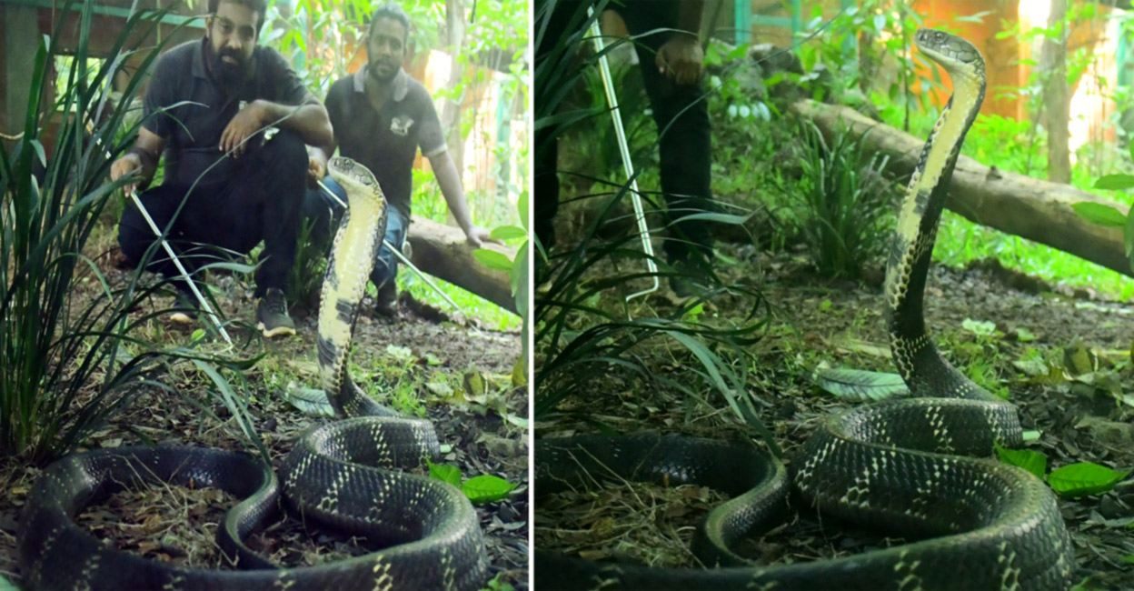 Cobras are snakes that do not harm humans directly;  Biting at the point of no return!