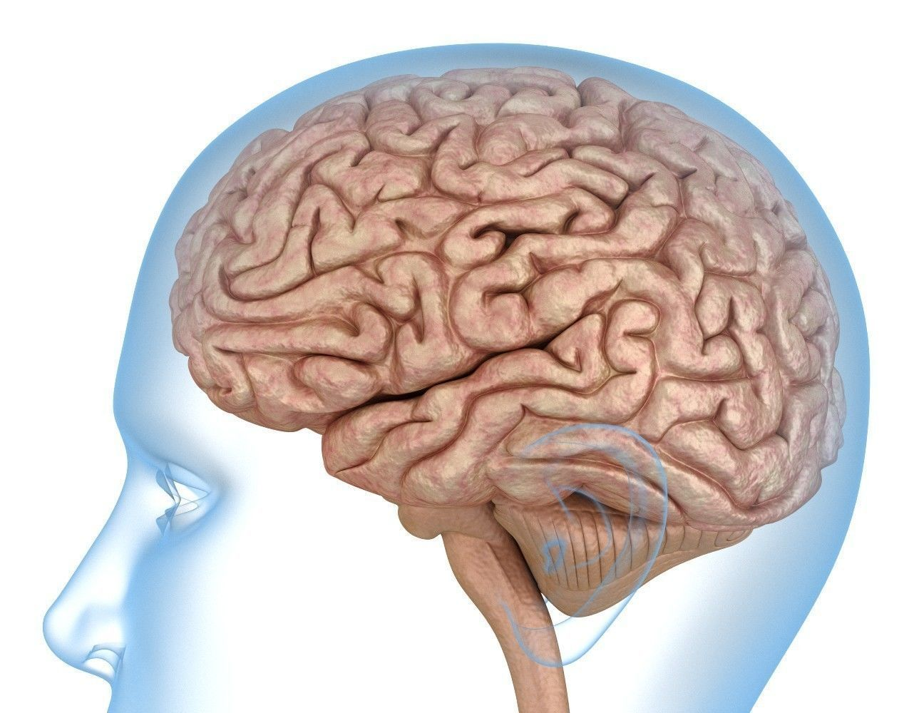 Human Brain Anatomy 3d Model