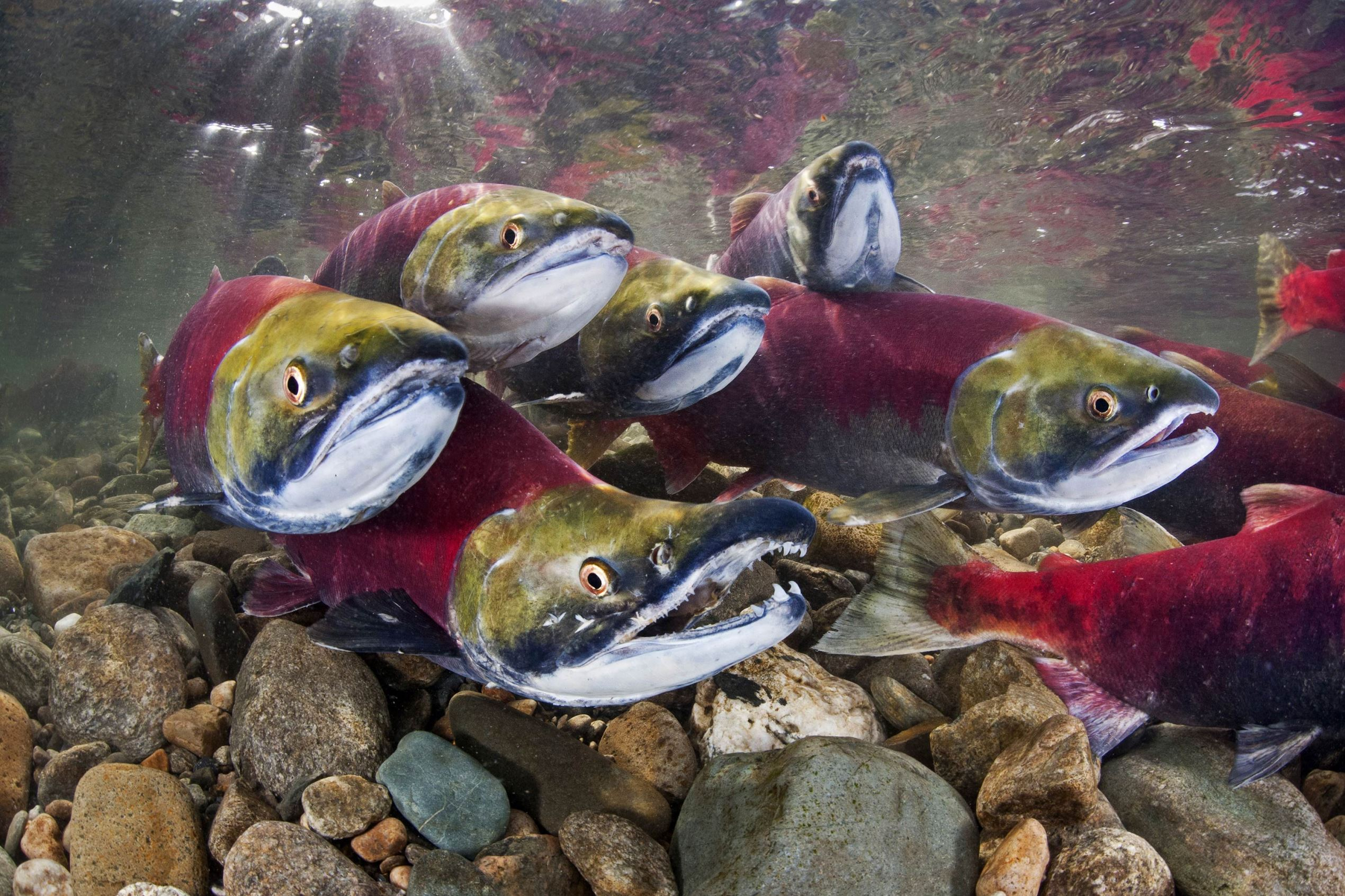 Sockeye salmon battle their way upstream as part of their annual migration.