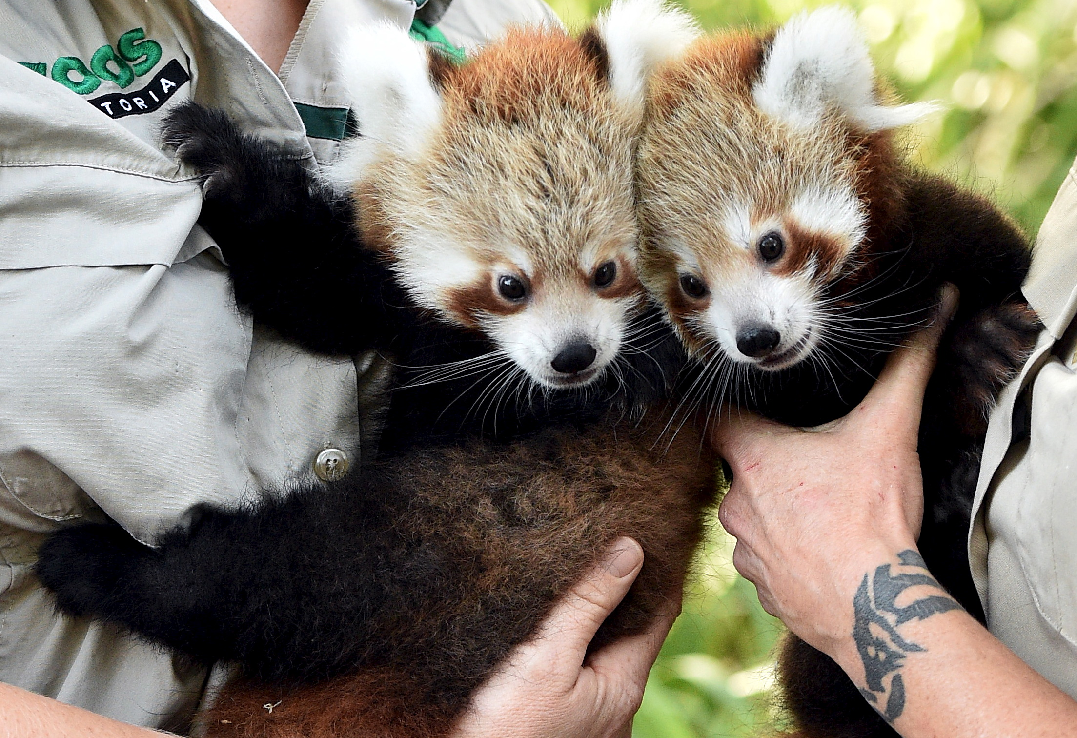 Слайд 48 из 67: Red Panda cubs Mandu (L) and Keta, who were born in December last year, are held by their keepers as they prepare to be vacinated during their first public appearance at Melbourne Zoo in Australia March 2, 2016.