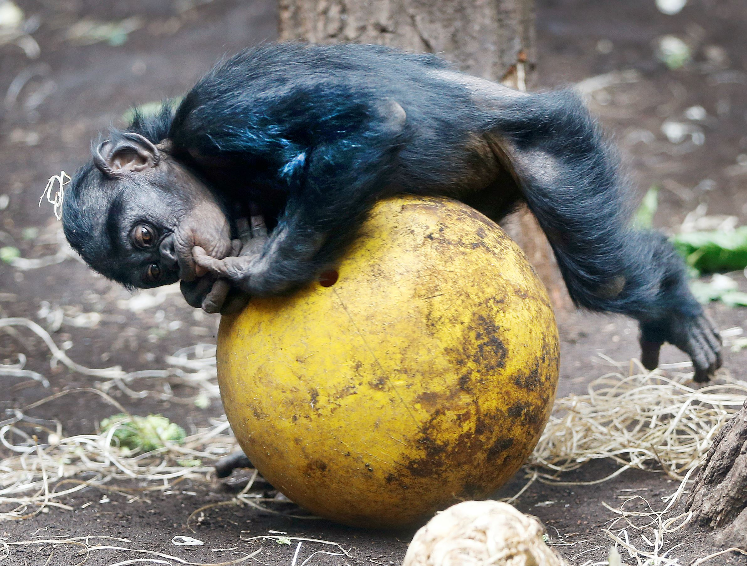 Слайд 4 из 67: A chimpanzee cub practices on a ball on the day of the opening of the Rio 2016 Olympics at the zoo in Frankfurt, Germany, Friday, Aug. 5, 2016. (AP Photo/Michael Probst)