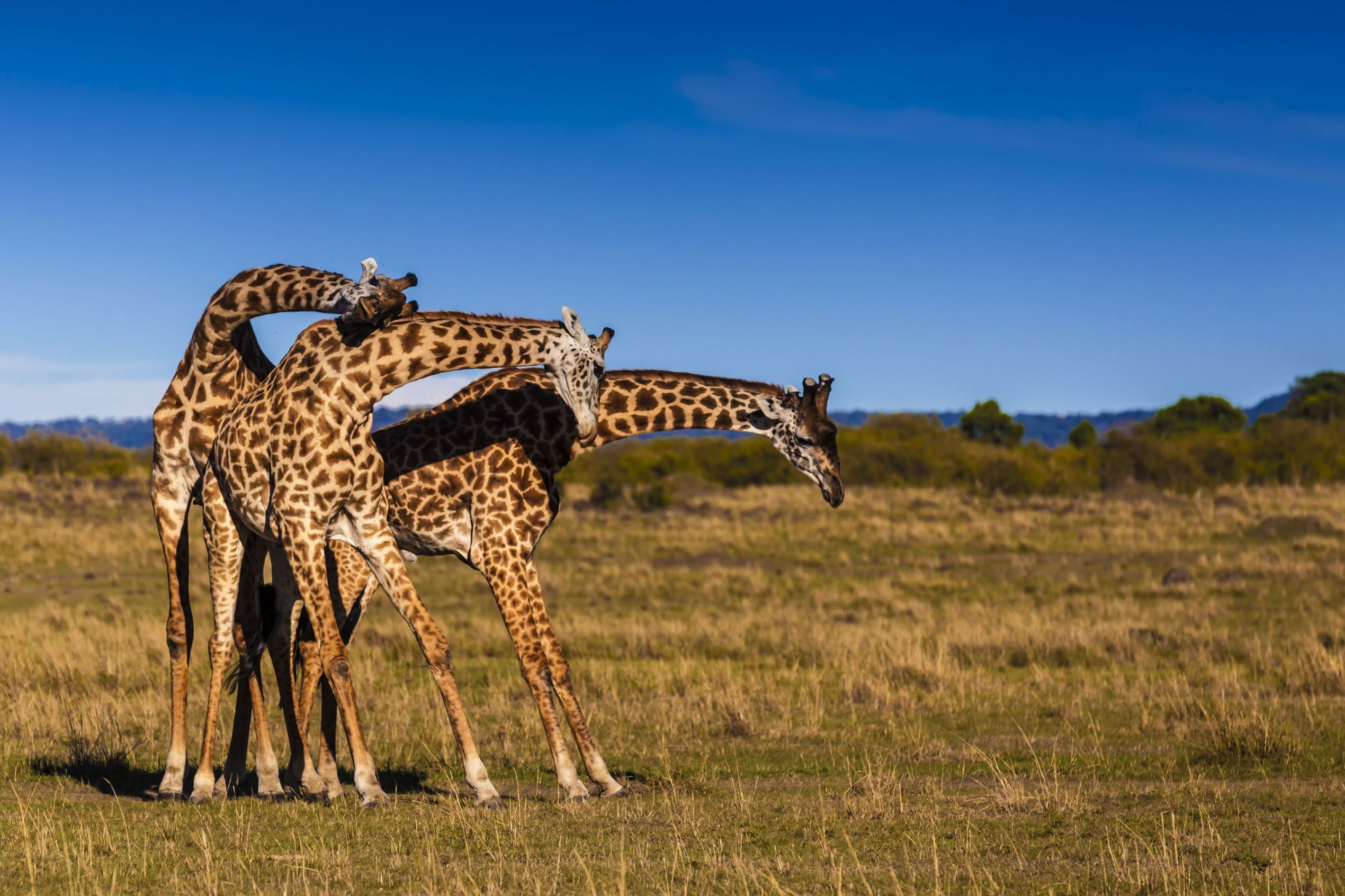 Слайд 24 из 67: Giraffes wrestling using their necks in the Masai Mara National Reserve, Kenya  - May 2016 The three giraffes all necking
