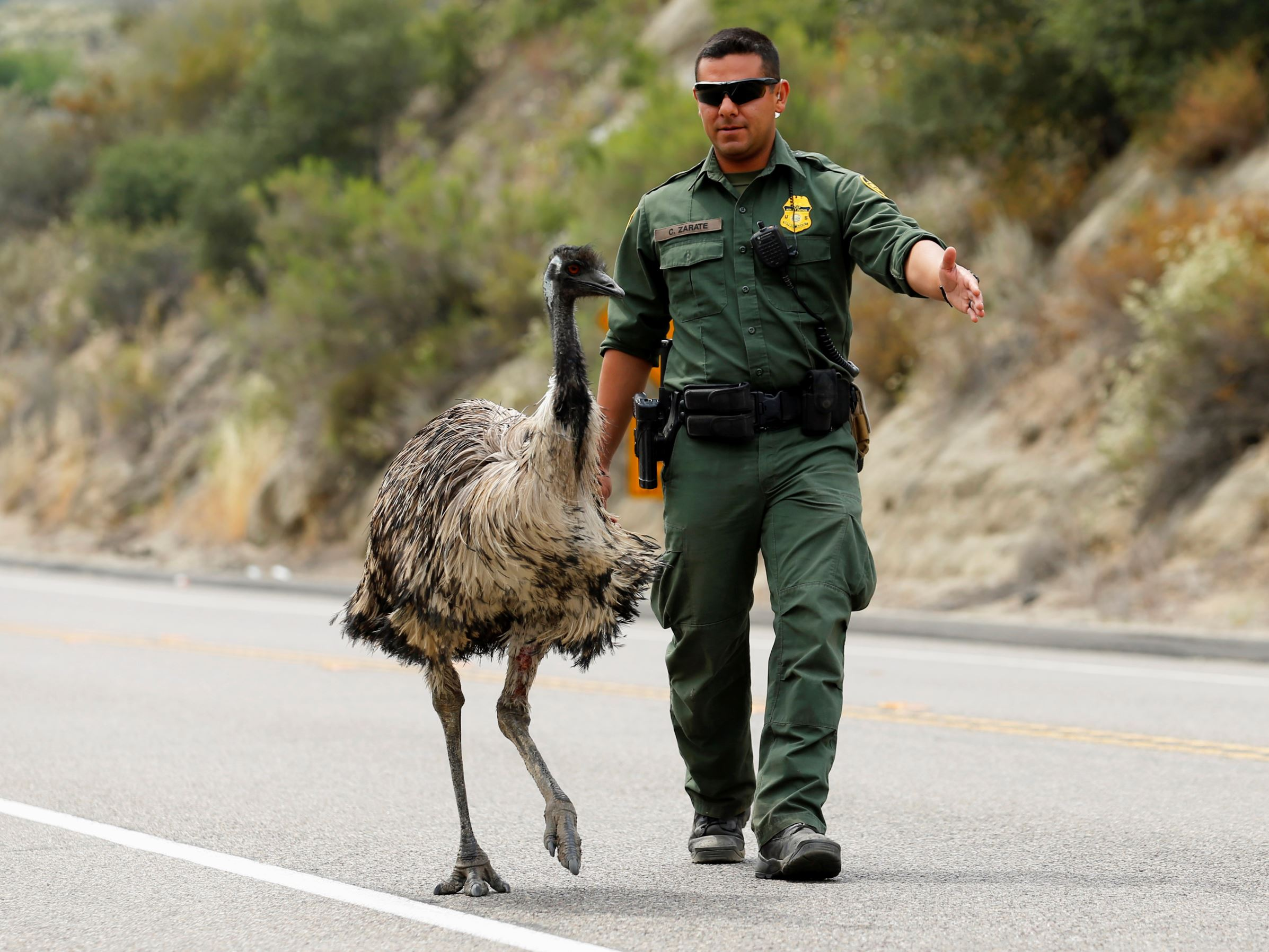 Слайд 31 из 67: U.S. Customs and Border Patrol officer Constantino Zarate tries to heard an Emu off the highway as a wildfire continues to burn north of the U.S. Mexico border near Potrero, California, U.S. June 21, 2016.