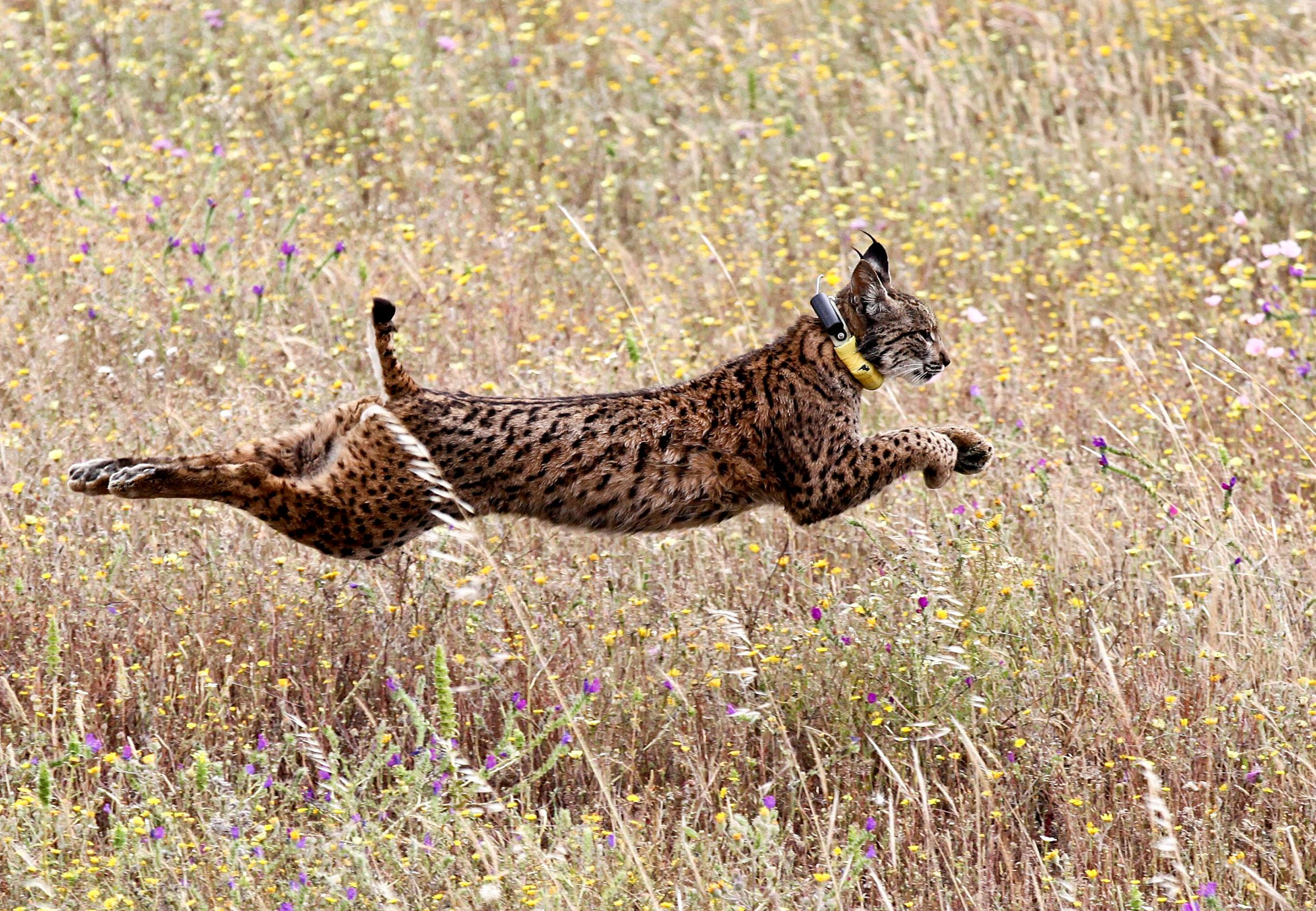 Слайд 33 из 67: Iberian lynx 'Mistral' jumps in a field after being released by Portugal's Minister of Environment Joao Matos Fernandes (unseen) and others in the Mount Milhouro (Herdade da Cela) region in Mertola, Portugal, 13 May 2016.