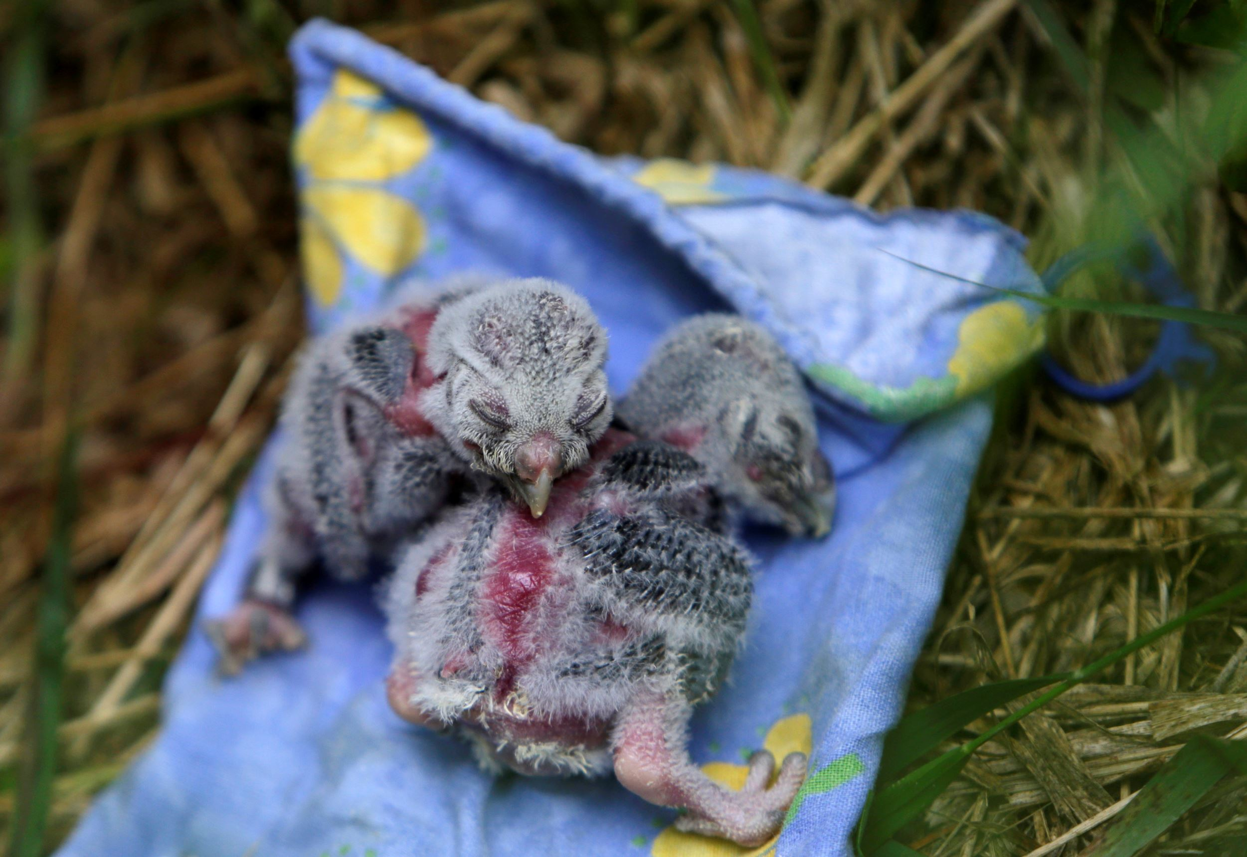 """Слайд 30 из 67: Two Boreal owl chicks rest outside the """"Smart Nest Box"""", which allows the study of birds by using mounted cameras, after being inspected in a forest near the village of Mikulov, Czech Republic, June 18, 2016."""