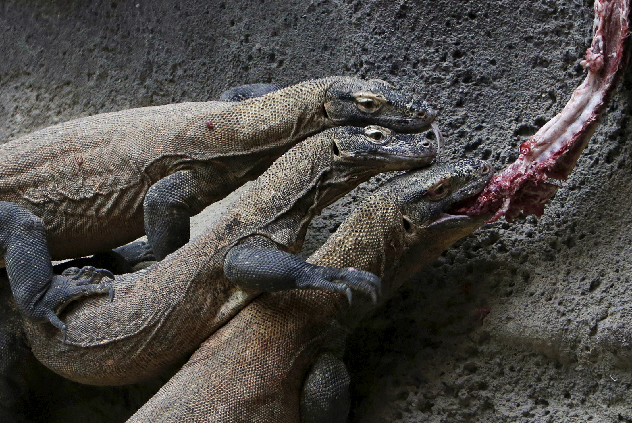 Слайд 66 из 67: Komodo dragons eat meat inside their enclosure at Prague Zoo, Czech Republic, January 16, 2016.