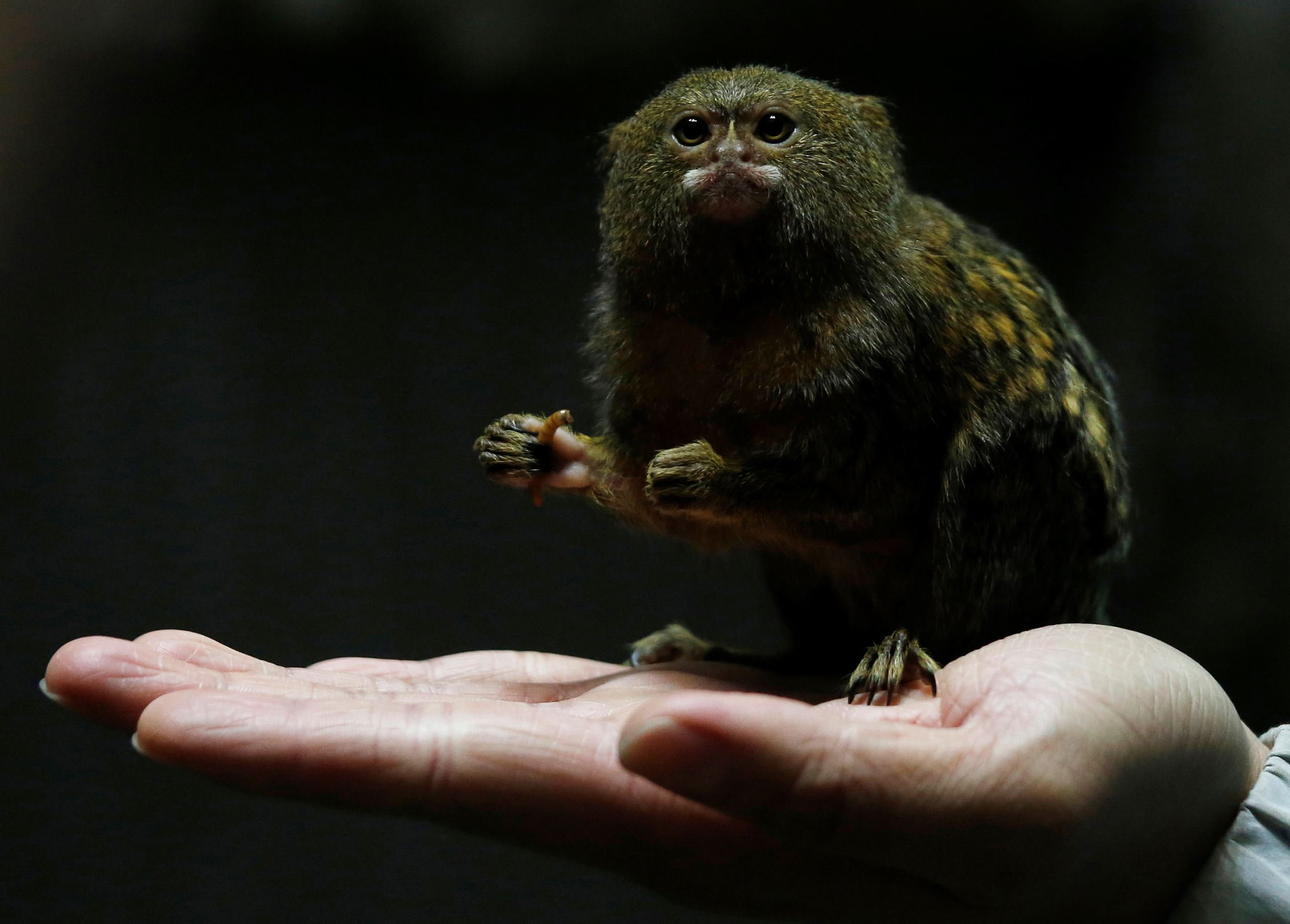Слайд 62 из 67: Hong Kong Ocean Park worker poses with a pygmy marmoset, the world's smallest monkey, in Hong Kong, China February 2, 2016. The Chinese New Year of the Monkey falls on February 8, 2016.