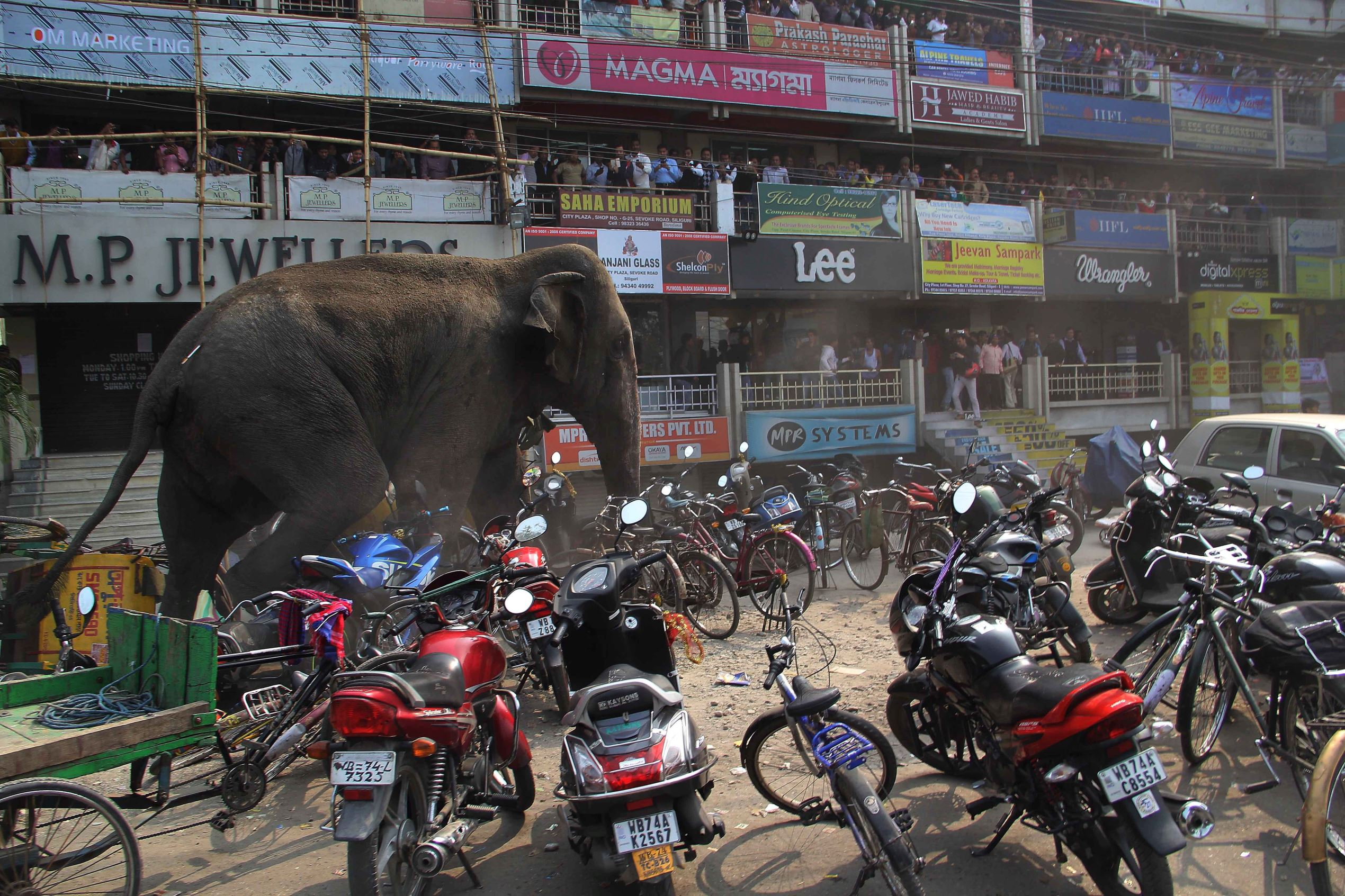 Слайд 54 из 67: A wild elephant that strayed into the town stands after authorities shot it with a tranquilizer gun at Siliguri in West Bengal state, India, Wednesday, Feb. 10, 2016. The elephant had wandered from the Baikunthapur forest on Wednesday, crossing roads and