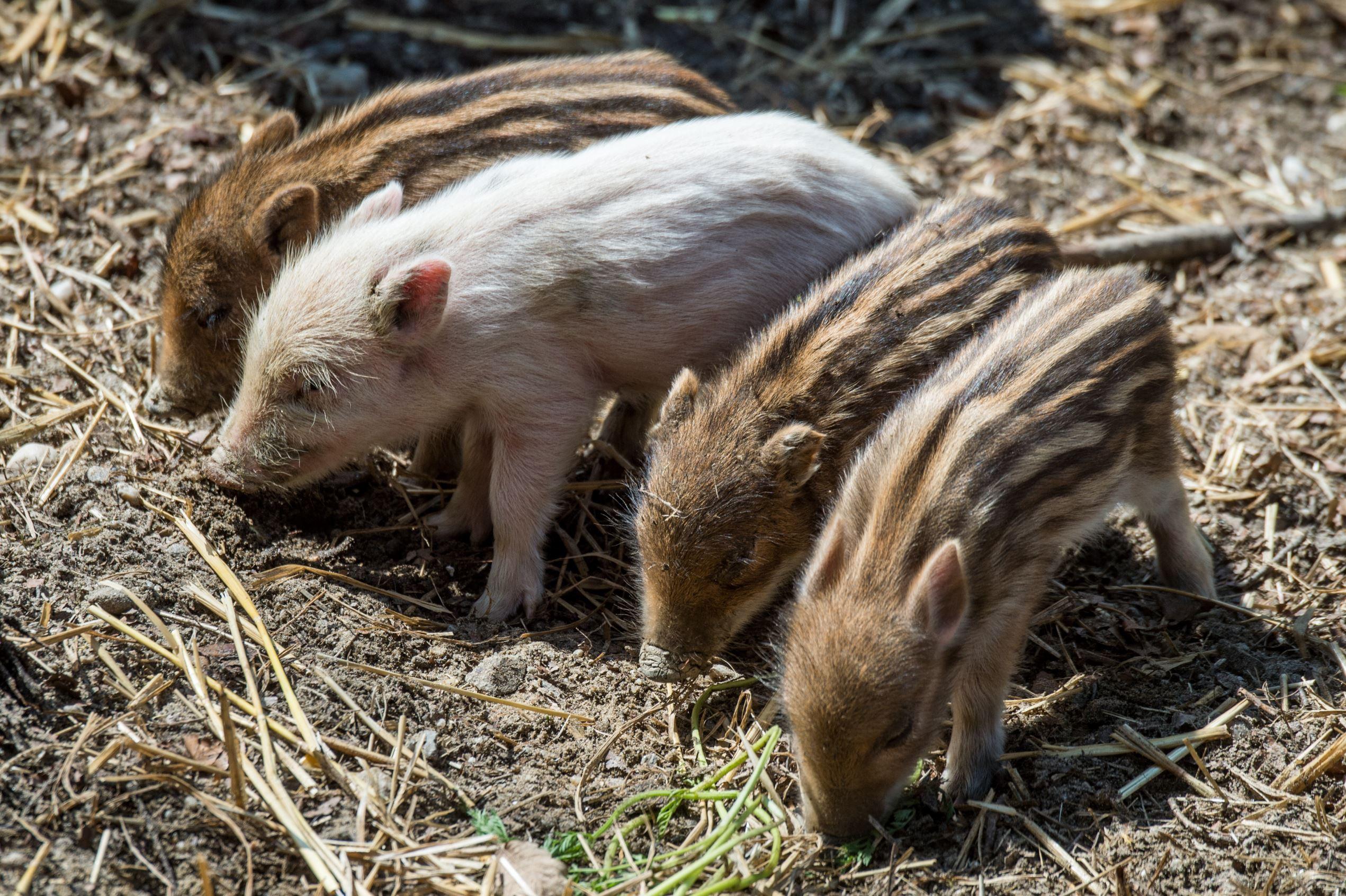 """Auf den Namen """"Bruno"""" hört dieses weiße Wildschwein im Wildpark Schloss Ortenburg. Unter den sechs Frischlingen, die vor einer Woche geboren wurden, entdeckten die Pfleger dieses besondere Tier."""