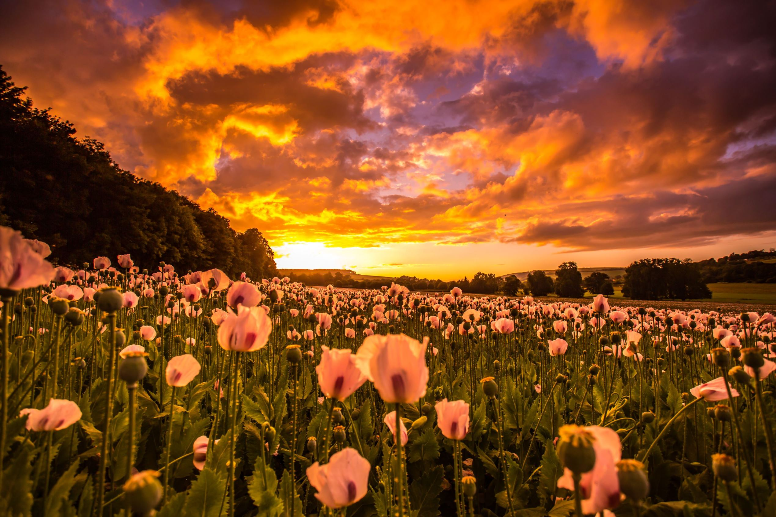 Слайд 59 из 86: Poppy field at sunset, Wimborne, Dorset, UK - 24 Jun 2016 Poppy field at sunset