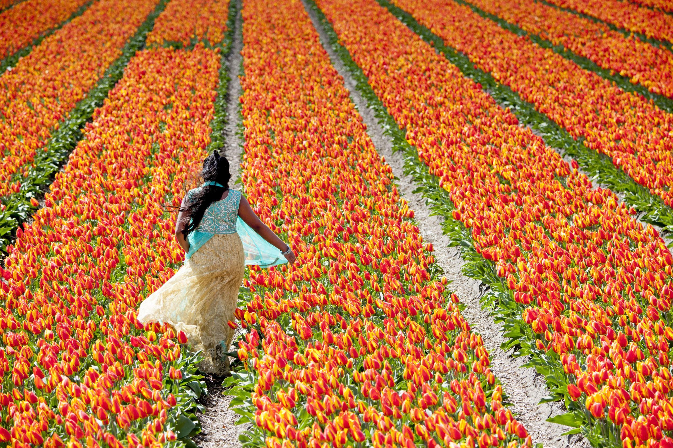 Слайд 41 из 86: Tulip flower fields, Lisse, Netherlands - 24 Apr 2016 Tulip flower fields, Lisse