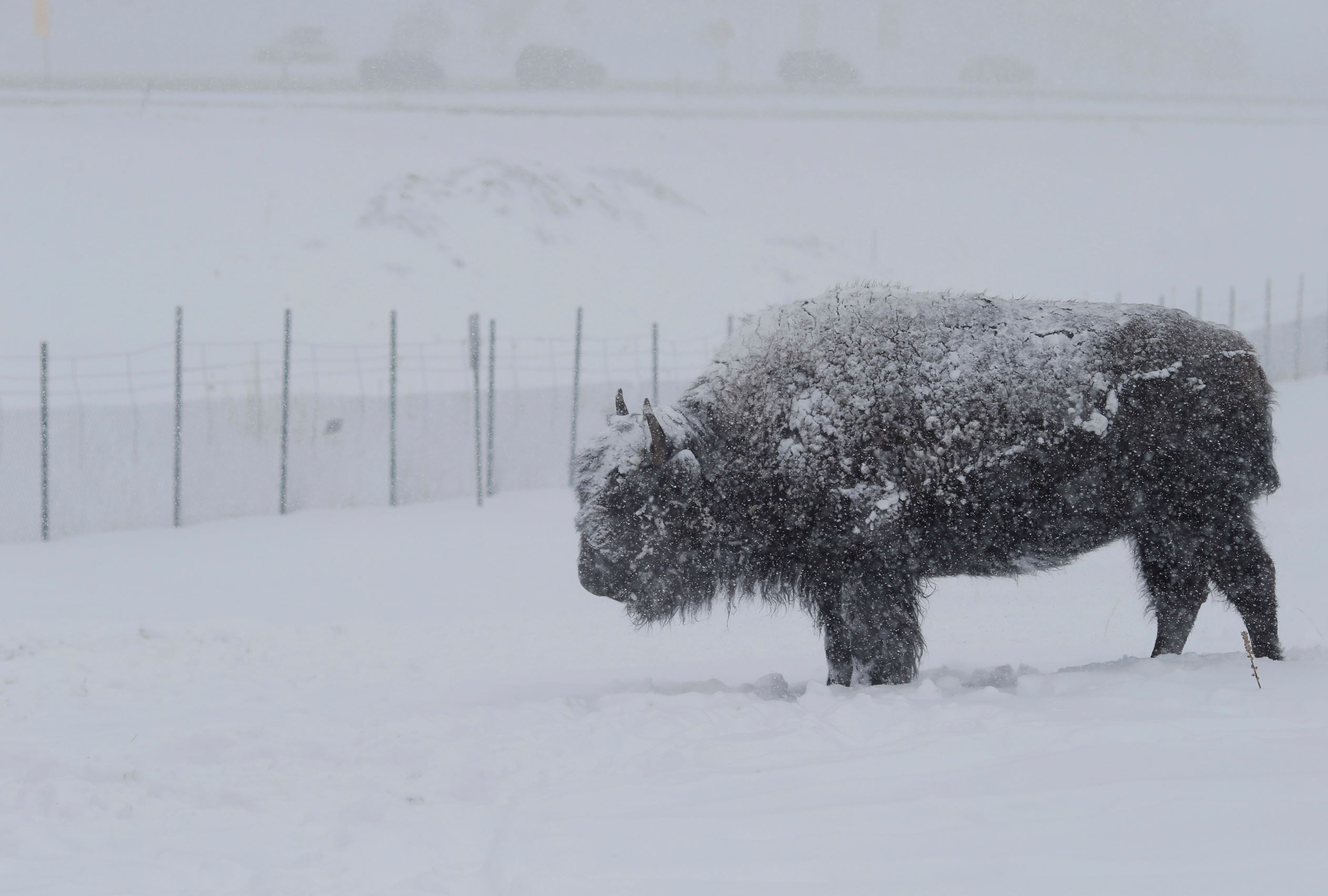 Слайд 38 из 86: A lone bison is blanketed by snow as the animal stands at the buffalo overlook along Interstate 70 as a severe spring storm packing high winds and heavy, wet snow sweeps over the intermountain West Saturday, April 16, 2016, near Evergreen, Colo. While th
