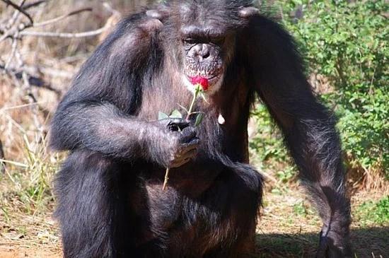 Doğum kontrol hapları şempanzelerde de işe yarar