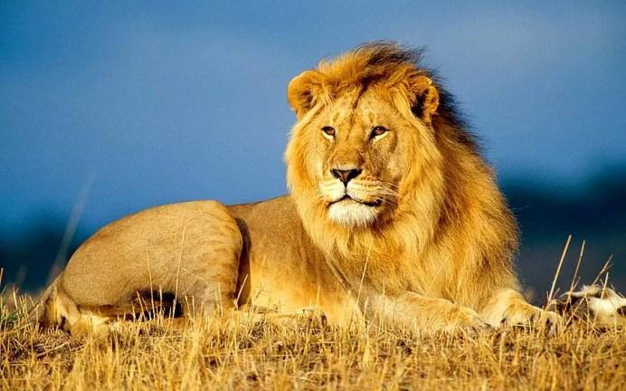 Dünya Aslan Günü Kutlu Olsun: Hayatınızdaki Aslanlarla İlgili Bilmeniz Gereken 20 Şey - onedio.com