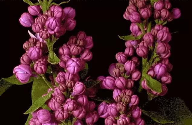 Mis gibi kokusunu yayan rengarenk açmış çiçekler.