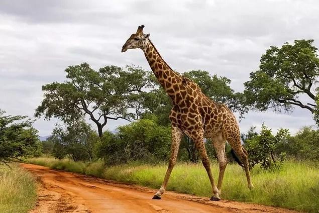 Zürafalar 24 saatlik bir süreçte yalnızca 5 ila 30 dakika uyumaya ihtiyaç duyarlar.