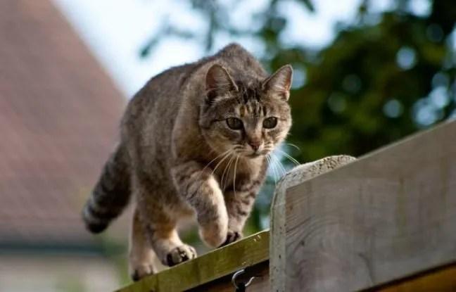 Un chat en chasse.