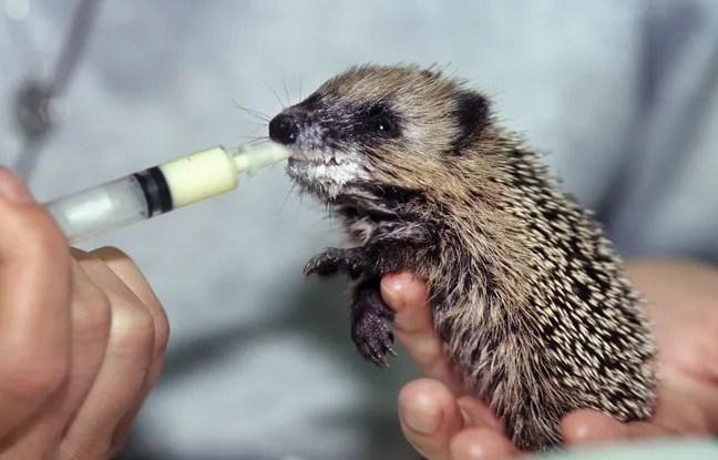 Les Japonais peuvent désormais caresser ces petites créatures moyennant 1.000 yens (8 euros).