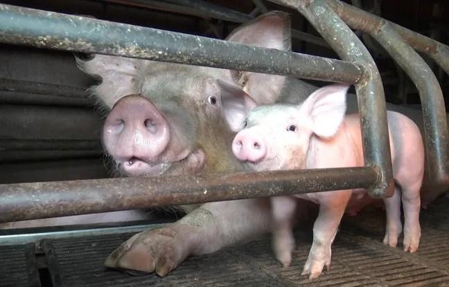 Extrait du reportage de L214 dans un élevage de porcs du Finsitère.
