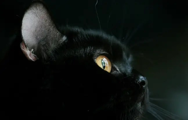 Un chat noir (illustration).