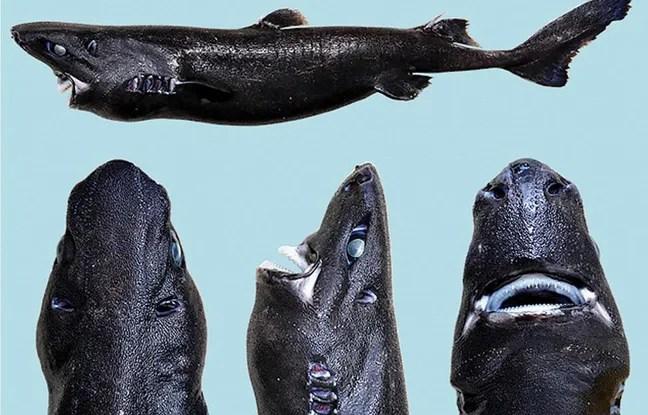 Des chercheurs ont découvert une nouvelle espèce de requin, dont la peau est phosphorescente.