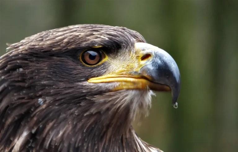 des aigles suivis par sms volent jusqu