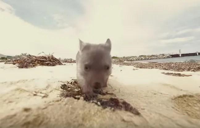 Derek le wombat marche et court déjà comme un grand. Il n'empêche, le marsupial a toujours un grand besoin de câlins.
