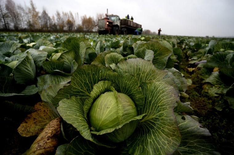 Káposztaföld Oroszországban - Konstantin Chalabov/RIA Novosti