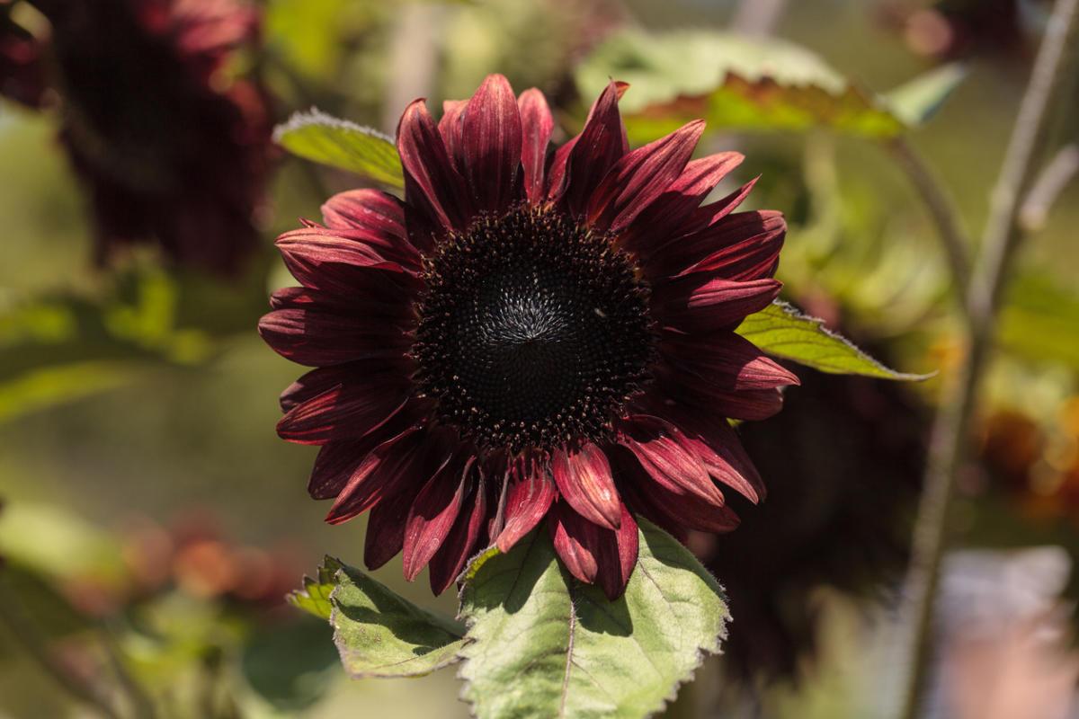 Что за цветы которые похожи на подсолнух