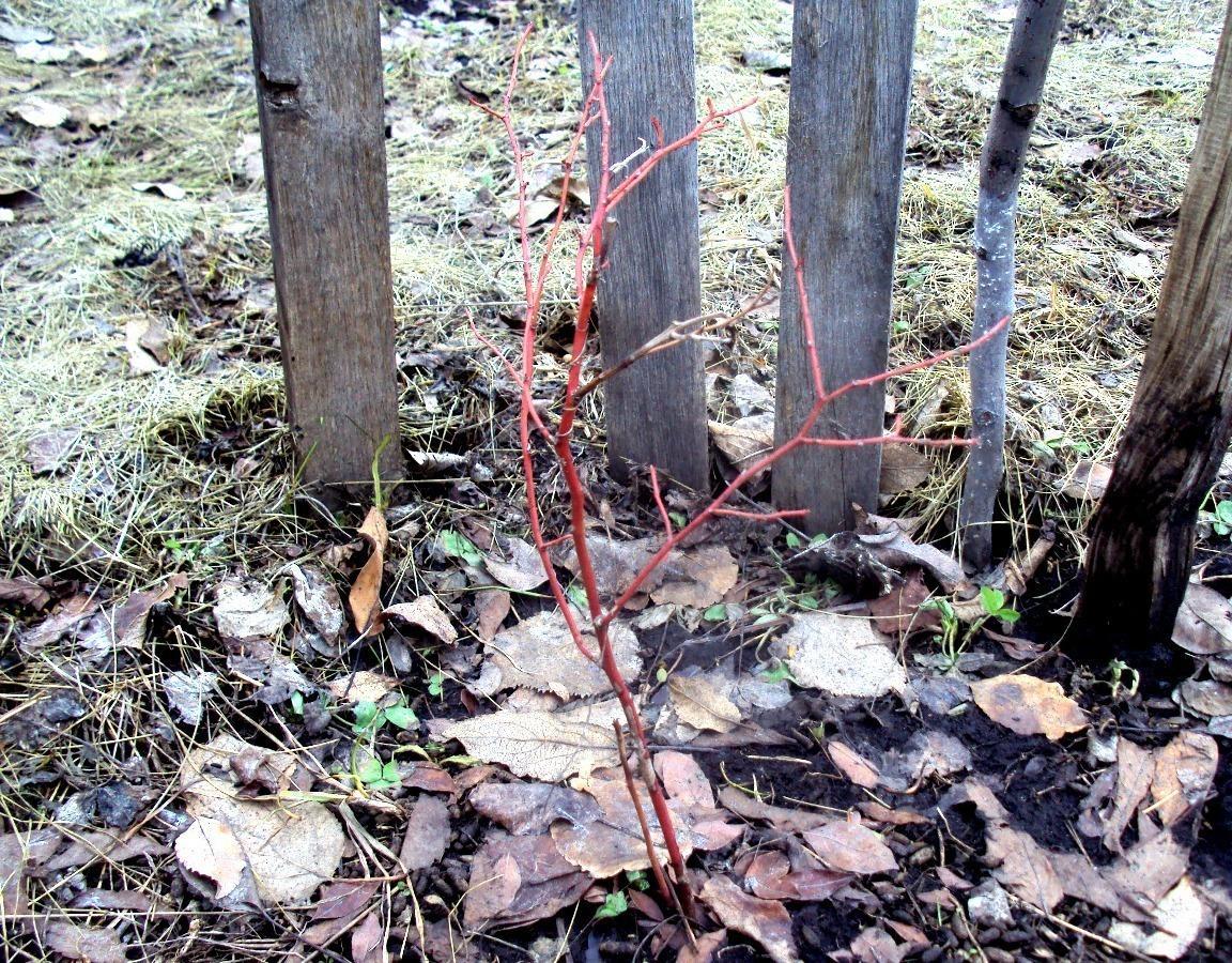 ableberries pierde in greutate dr charles francis pierdere în greutate