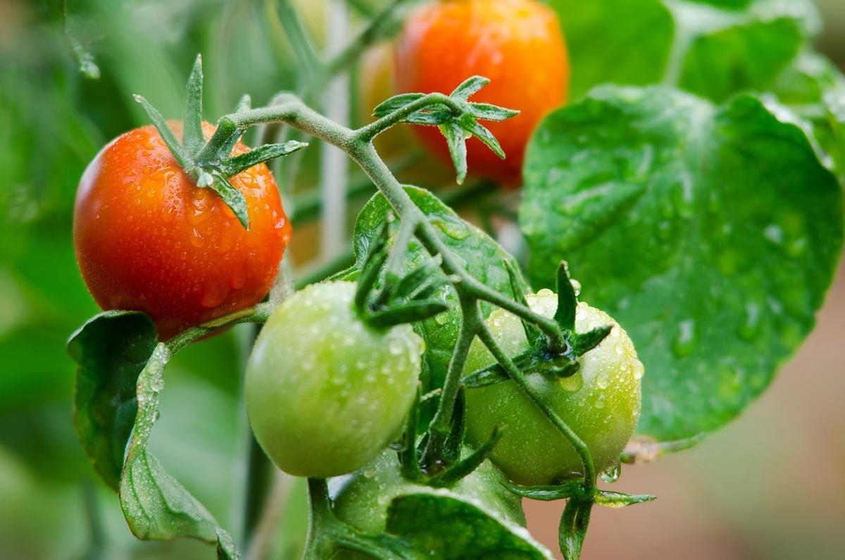 помидоры на ветке рекомендует