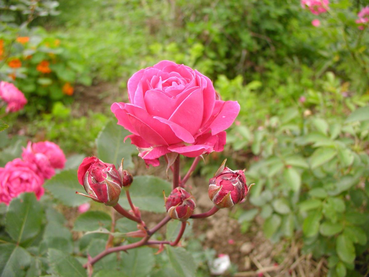 Как ухаживать за канадской розой